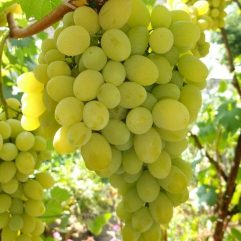 Виноград плодовый Августин 1