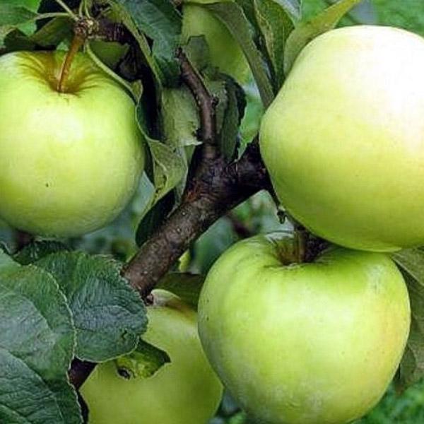 Яблоня Антоновка золотая изображение 3
