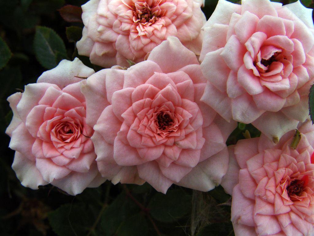 Роза Даниэлла изображение 1
