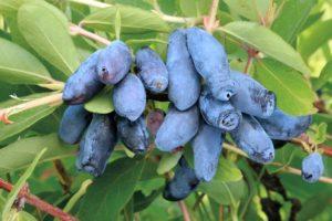 Секреты выращивания жимолости в саду