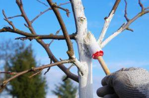 Сорт яблони – Белый налив – любимец российских садоводов