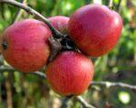 Саженцы яблони Орлик