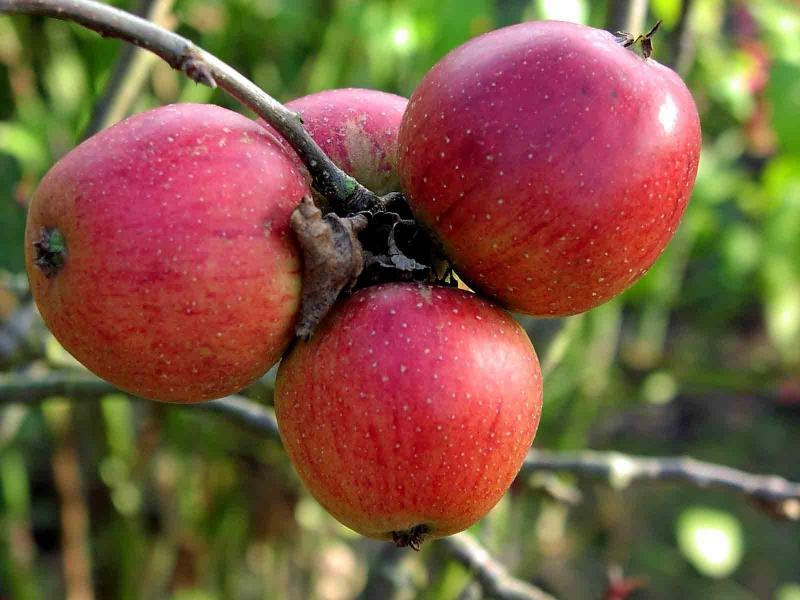 Саженцы яблони Орлик 1