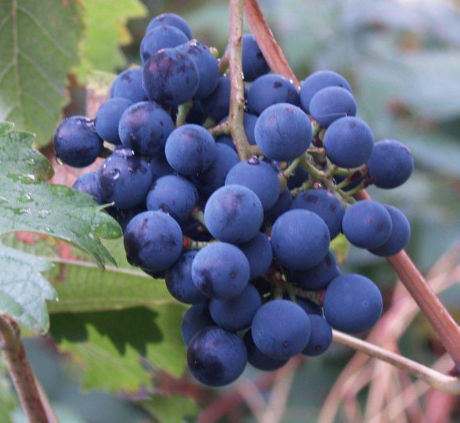 Виноград Северный изображение 2