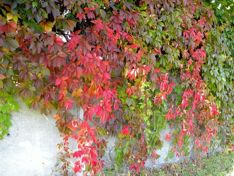 Виноград девичий пятилисточковый изображение 2