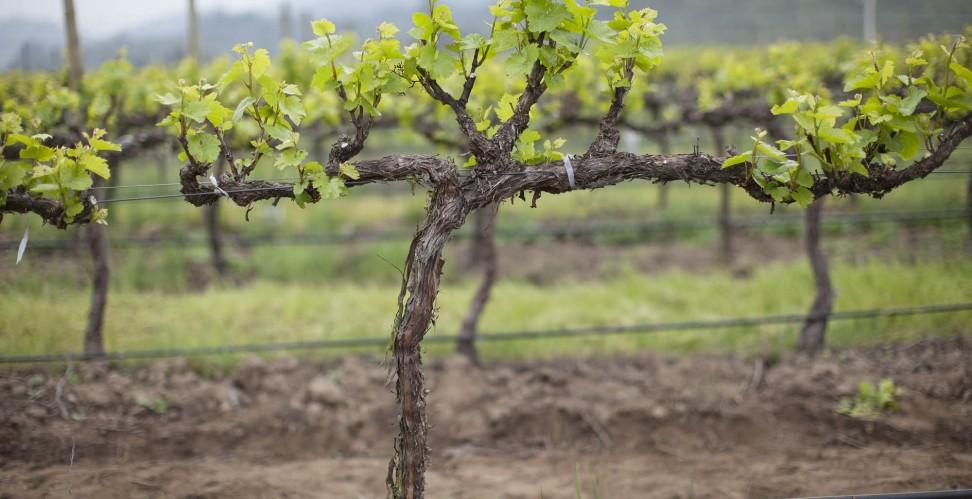 Весенняя посадка винограда: советы для начинающих