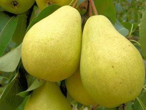 Осенние сорта груш – настоящее лакомство для гурманов