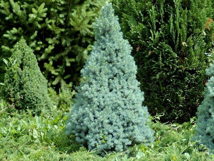 Ель канадская Sander's Blue изображение 1