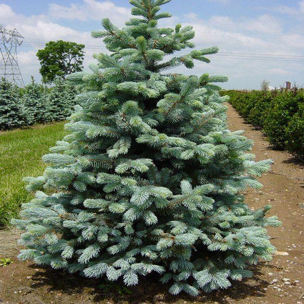 Ель обыкновенная Picea abies изображение 2