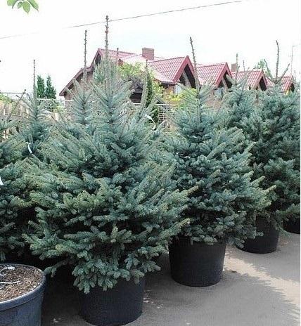 Ель обыкновенная Picea abies изображение 3