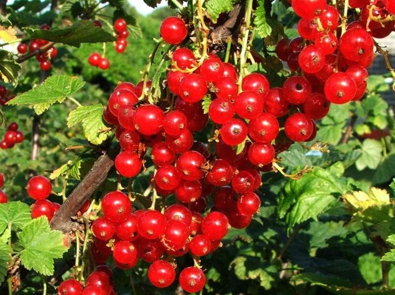 Красная смородина Мармеладница изображение 3