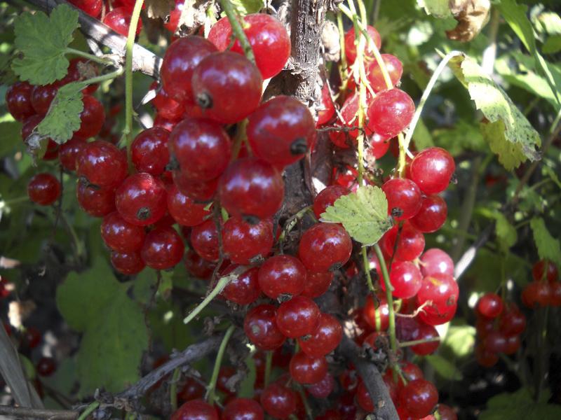 Красная смородина Мармеладница изображение 2
