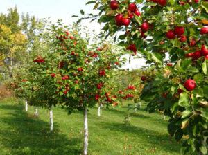 Посадка саженцев плодовых деревьев: вырастить сад мечты просто