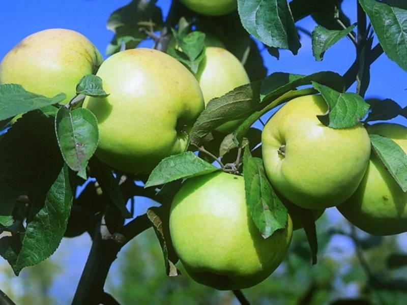 Яблоня Антоновка золотая изображение 2