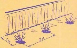 Посадка саженцев ежевики: правила, нюансы, поэтапные шаги
