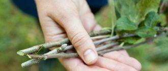 Посадка яблоней: как вырастить саженцы яблони – советы профессиональных садоводов