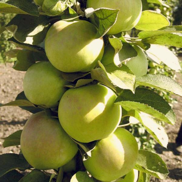 Яблоня Малюха 2