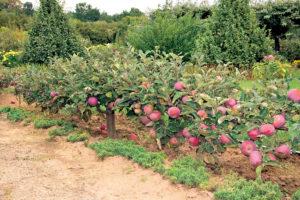 Посадка саженцев яблони – советы для начинающих садоводов