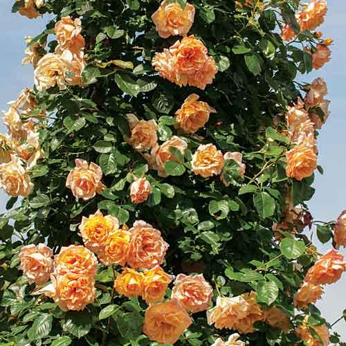 Роза Алоха изображение 2