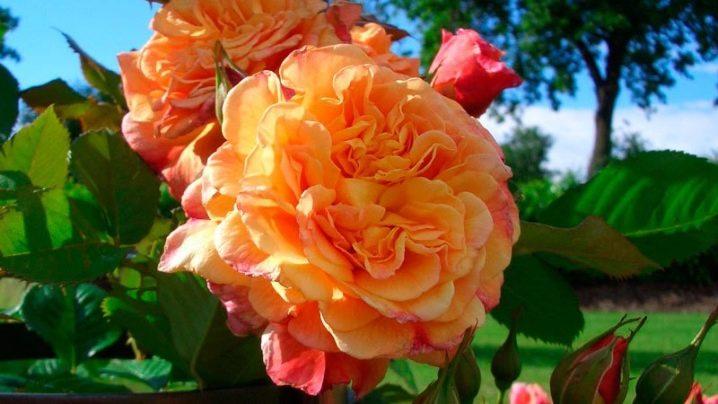 Роза Алоха изображение 1