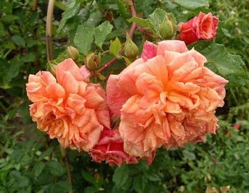 Роза Алоха изображение 3
