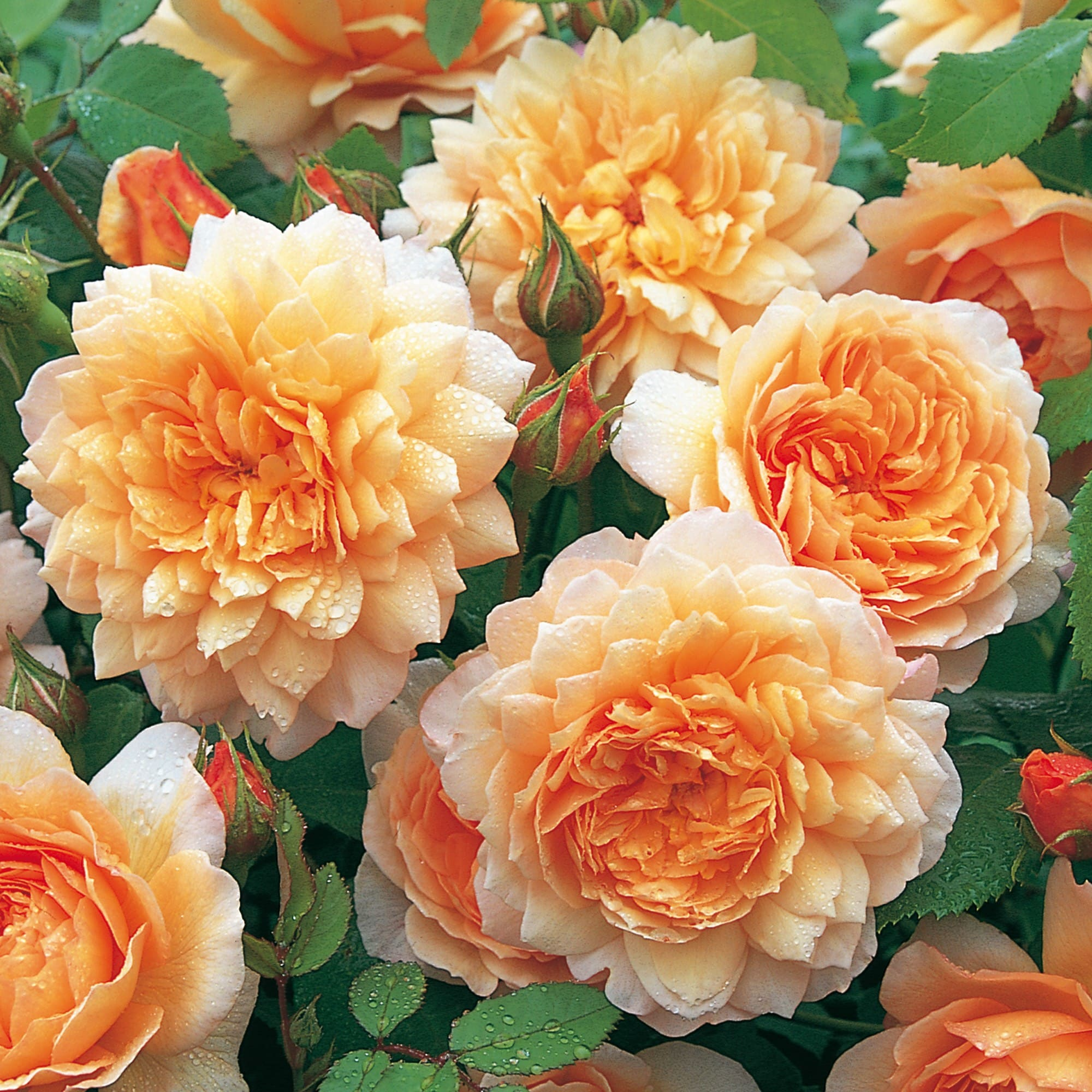 Роза Грейс 1