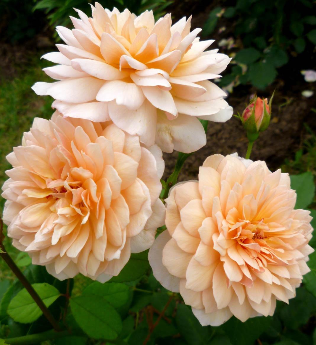 Роза Грейс 2