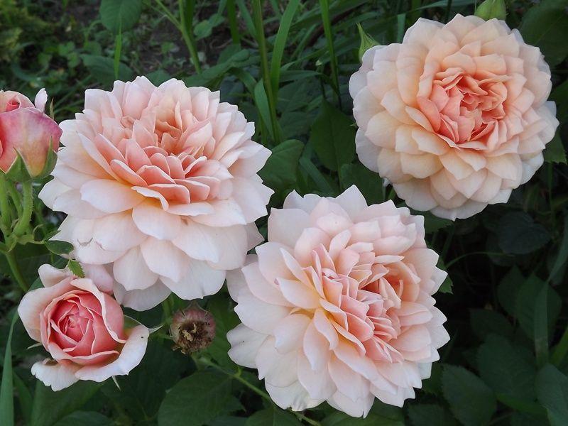 Роза Грейс 5
