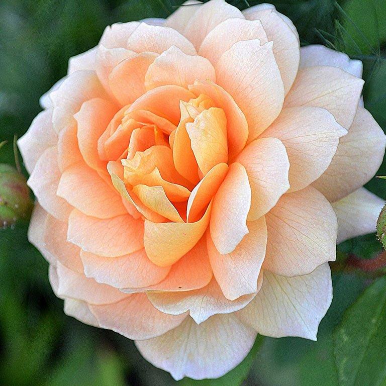 Роза Грейс 4