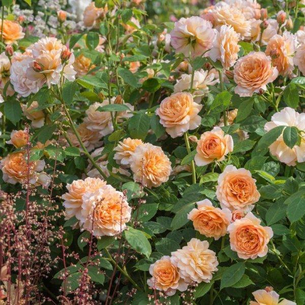 Роза Грейс 3
