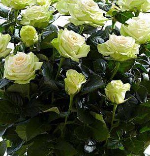 Роза Грин Глоу 1