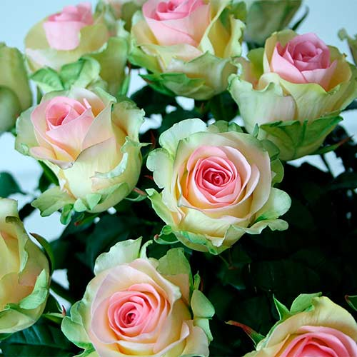 Роза Грин Глоу изображение 2