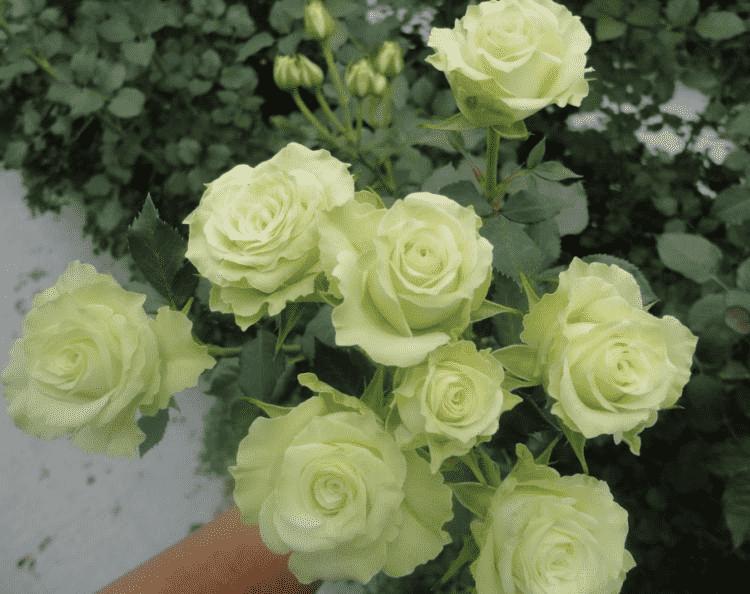 Роза Грин Глоу изображение 3
