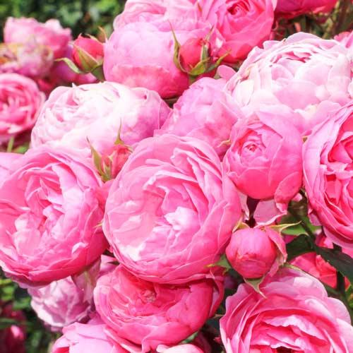 Роза Помпонелла 1