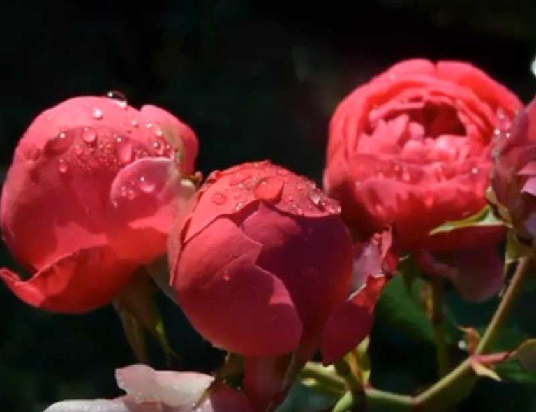 Роза Помпонелла 4