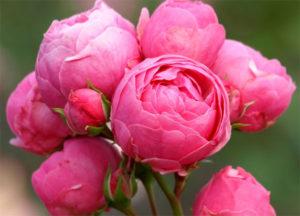 Роза Помпонелла 3
