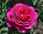 Роза Биг Перпл