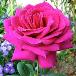Роза Биг Перпл 2
