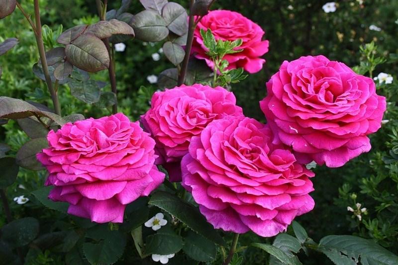 Роза Биг Перпл 3