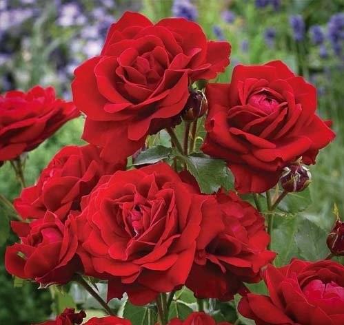 Роза Блэк Черри изображение 2