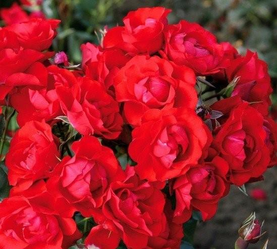 Роза Блэк Черри изображение 3