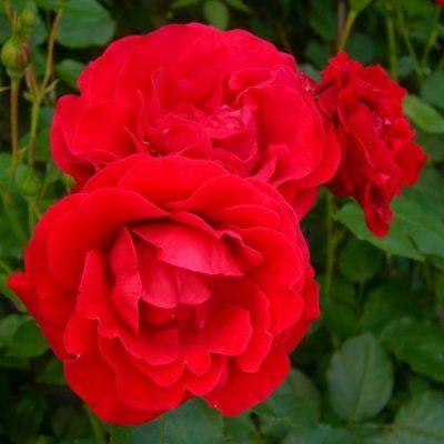 Роза Блэк Черри изображение 4