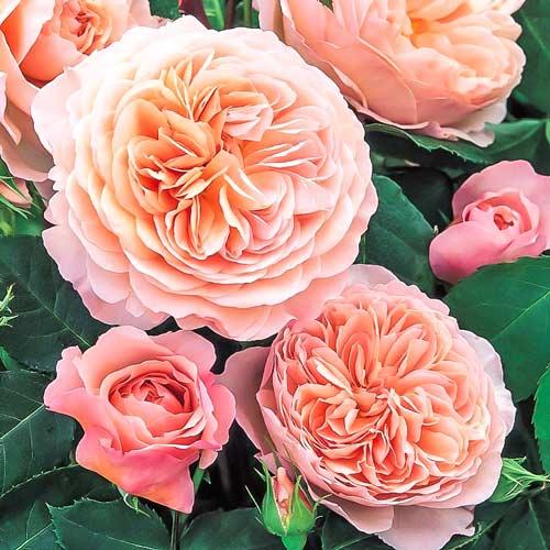 Роза Вильям Моррис 1