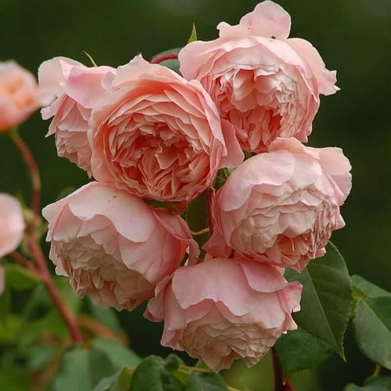 Роза Вильям Моррис 2