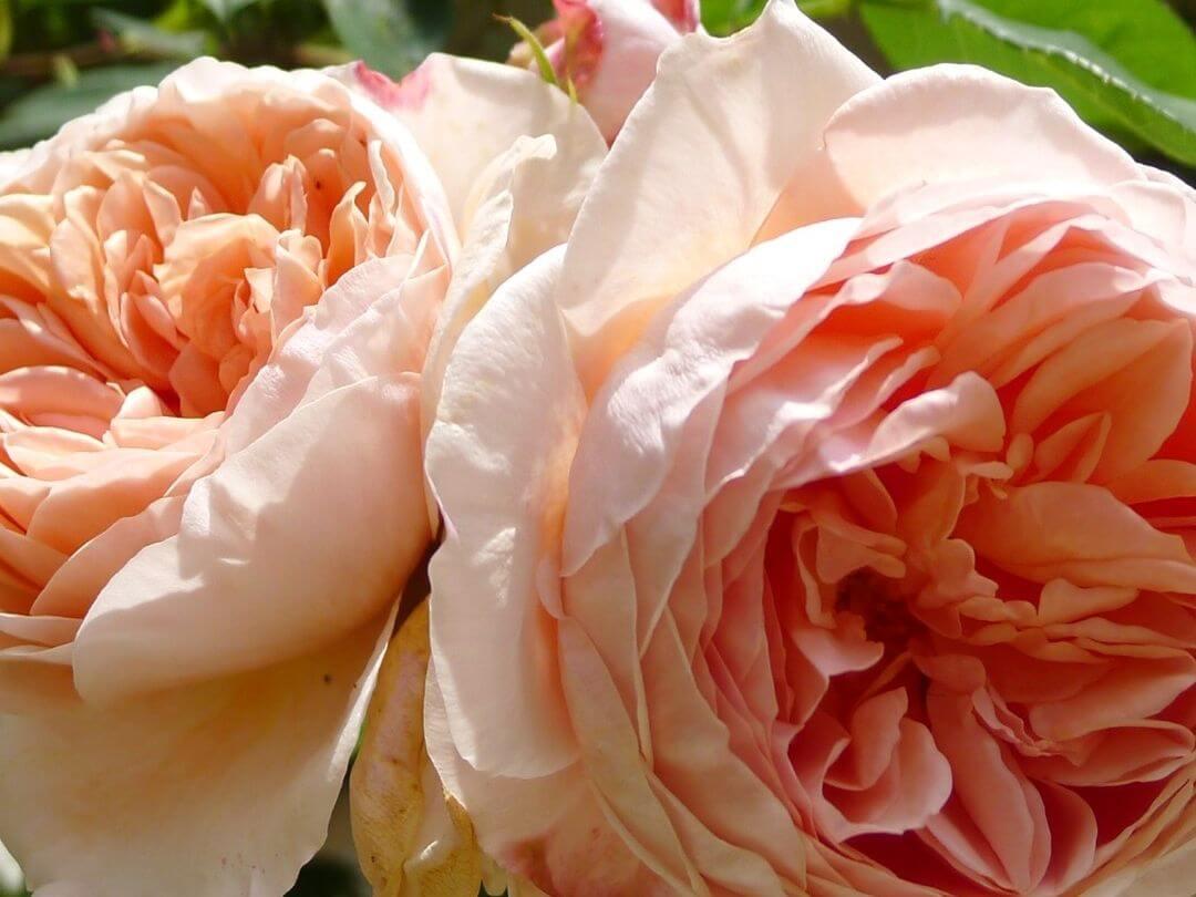 Роза Вильям Моррис 4