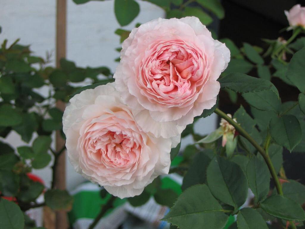 Роза Вильям Моррис 3