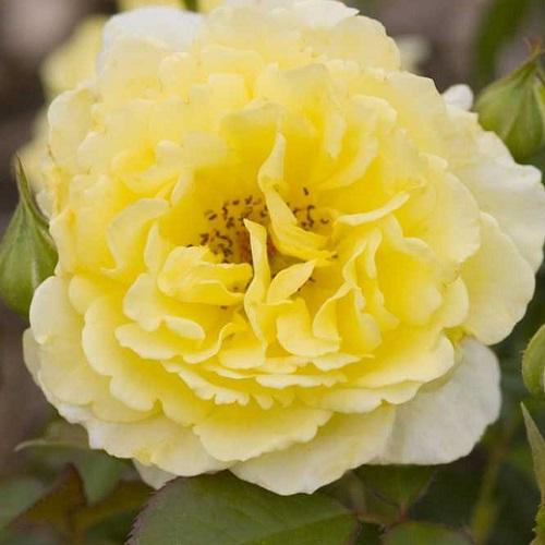 Роза Йеллоу Субмарин 1