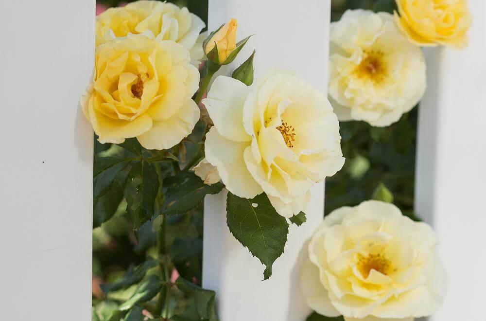 Роза Йеллоу Субмарин 2