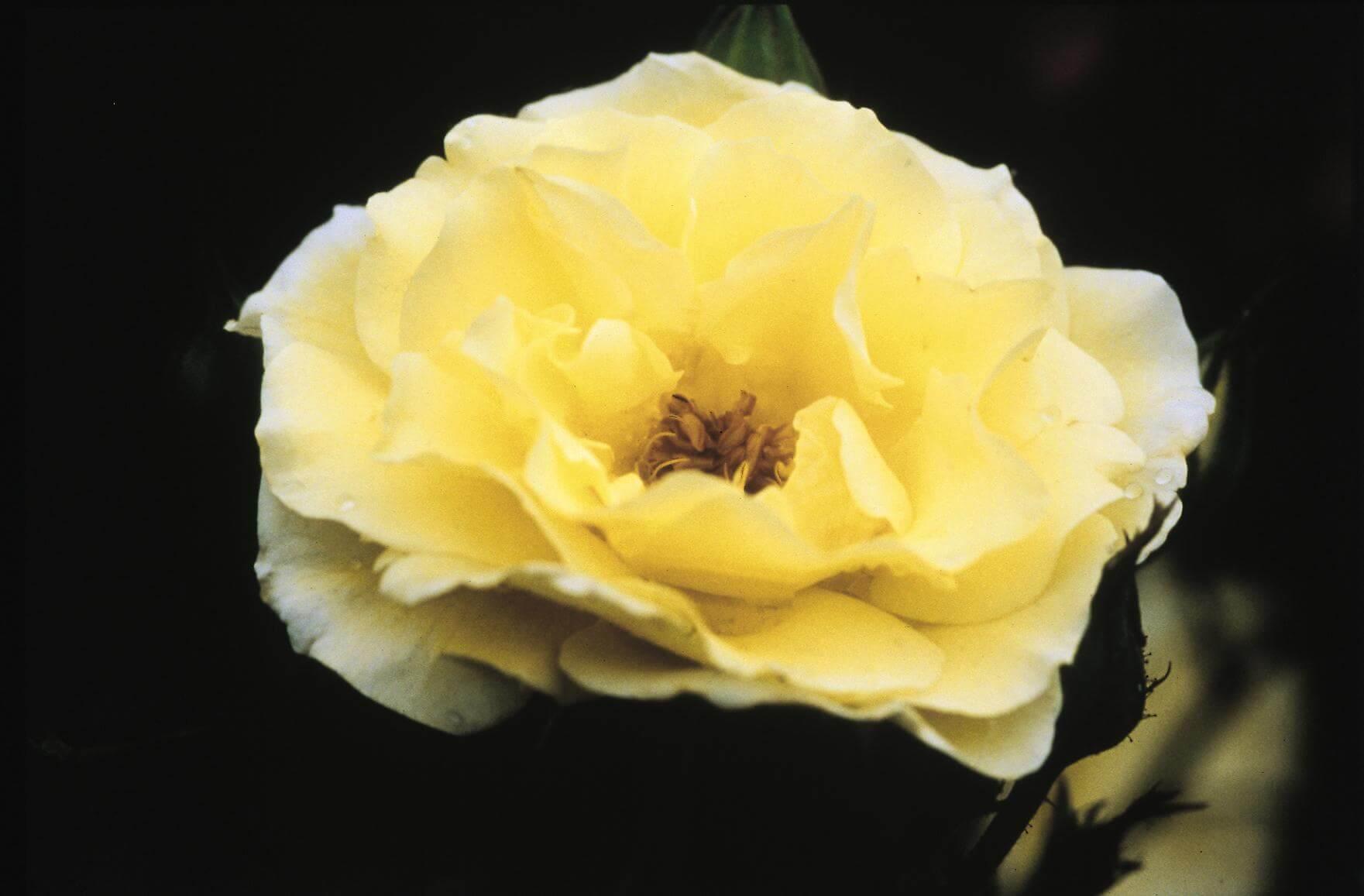 Роза Йеллоу Субмарин 3