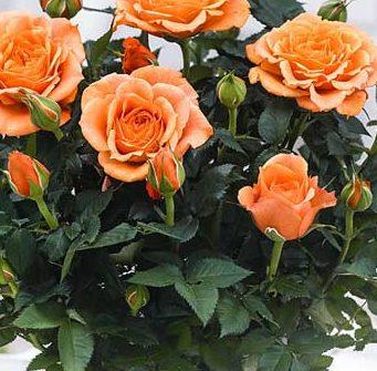 Роза Оранж Бейби 1